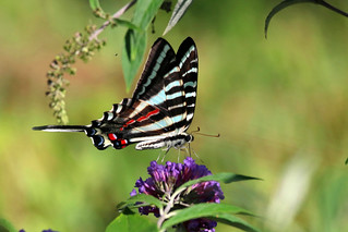 ZEBRA SWALLOWTAIL, a magnificent specimen ( look at the length of those tails) of this hard to find an usually hard to photograph butterfly; at Bok Tower Gardens, Lake Wales, Florida