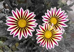 Gazania in my garden (sdmvqedd30) Tags: gazania flowers garden petals red white potplants leica trio sunny summer