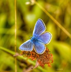 Blue (franbanks1 -( colin banks) ( 1 million views , tha) Tags: sigmauk sigma105mm nikon franbanks blue naturebutterflies bugs insects butterfly