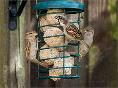 There's plenty for all (Phil McIver) Tags: garden housesparrow
