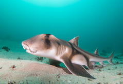 Breeding time - Heterodontus portusjacksoni - Port Jackson shark #marineexplorer (Marine Explorer) Tags: scuba nature marine underwater australia marineexplorer rx100 compact sony