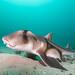 Breeding time - Heterodontus portusjacksoni - Port Jackson shark #marineexplorer