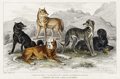 European Wolf, Black Wolf of North America, St.Bernard's Mastiff, Highland Greyhound, and Great Dog of Nepal from A history of the earth and animated nature (1820) by Oliver Goldsmith (1730-1774). Digitally enhanced from our own original edition. (Free Public Domain Illustrations by rawpixel) Tags: goldsmith oliver otherkeywords tags ahistoryoftheearthandanimatednature antique artwork bernard black cc0 creativecommons0 creativecommonszero dog drawing earth european glead goshawk great greyhound gyr handcoloured highland history illustrated illustration kestril kite mastiff name nature nepal north old olivergoldsmith peregrine pheasant publicdomain ringed sitting sketch species st style vintage wild wildlife wolf