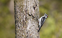 Downy Woodpecker [male]