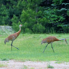 Sand Hill Crane (BennBooCreations) Tags: sandhillcranes michigansupperpeninsula nature wildlife crane