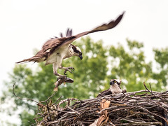 Osprey (montrealmaggie) Tags: bird wings nest osprey panasonic feathers