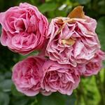 Au jardin, bouquet de roses, Bosdarros, Béarn, Pyrénées Atlantiques, Aquitaine, France. thumbnail