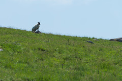 Dartmoor lookout K1__7011.jpg (screwdriver222) Tags: grass ramstandingonrock ram hdpentaxdfa70200mmf28eddcaw skyline sheep rocks england unitedkingdom gb devon pentax k1 dartmoor