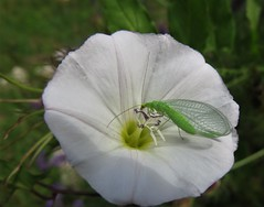 Chriysopa formosa on a white flower. (vidaficko) Tags: chriysopa formosa bug white flower