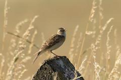 Skylark Hollering Again (stevedewey2000) Tags: spta salisburyplain wiltshire sptacentre birds bird tamron150600 lark skylark