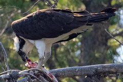 2018-06-29 K3 Colorado (247) (Paul-W) Tags: shadowmountainlake 2018 colorado canoeing canoe water lake mountains islands morning osprey raptor bird