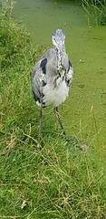 20180710_134005 (The Unofficial Photographer (CFB)) Tags: ron heron bestofthebest greychestedheron greyheron featheredfriends