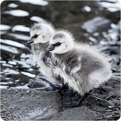 Goslings (CecilieSonstebyPhotography) Tags: gosling bokeh markiii oslo gjess gåsunge frognerkilen closeup canon5dmarkiii june geese gåsunger canon goose children goslings specanimal