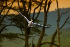 Pink Backed Pelican (Mujtaba Hussain Shah) Tags: pinkbackedpelican kenya africa sunset lakebaringo