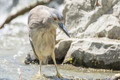La pose du pêcheur! (anniebevilacqua) Tags: oiseaudeau waterbird bihoreaugris blackcrowednightheron nycticoraxnycticorax moulinlégaré steustache