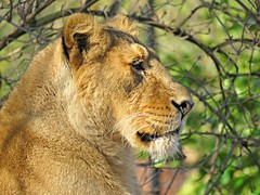 A Lioness'Pride! ('cosmicgirl1960' NEW CANON CAMERA) Tags: zoo chester lion lioness cat yellow green conservation nature animals wildlife yabbadabbadoo