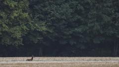 .. (jesscser) Tags: natural wildlife deer biche cerf cervidé nature oise