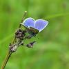 The Common Blue Butterfly (AndyorDij) Tags: commonblue commonbluebutterfly polyommatusicarus kettonquarrynaturereserve ketton kettonnaturereserve england rutland uk unitedkingdom andrewdejardin 2018 insect butterfly