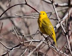 IMG_0959  Yellow Warbler (ashahmtl) Tags: yellowwarbler warbler songbird dendroicapetechia longpointprovincialpark norfolkcounty ontario canada