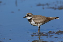 little ringed plover (simonrowlands) Tags: little ringed plover charadrius dubius wader reservoirs gravel pits large ponds yellow eye ring