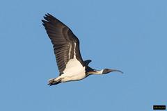 Straw-necked Ibis (Threskiornis spinicollis) (Dave 2x) Tags: threskiornisspinicollis threskiornis spinicollis strawneckedibis strawnecked ibis pitttownlagoon nsw australia leastconcern