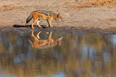 Jackal (mclcbooks) Tags: jackal reflection pond okavangodelta moremigamereserve kwara splashcamp africa safari wildlife animal