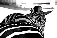 Zebra Bottoms (MTSOfan) Tags: zebras bw greyscale lvz stripes