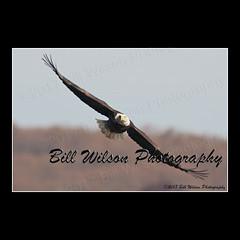 bald eagle flight (wildlifephotonj) Tags: baldeagle baldeagles eagle eagles raptor raptors wildlifephotography wildlife nature naturephotography wildlifephotos naturephotos natureprints birds bird