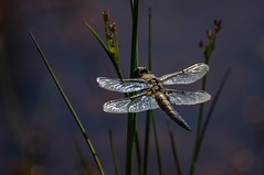 Dragonfly (libelle) (moniquedoon) Tags: dragonfly insect insects libelle macro nikon insectporn nature naturewatching
