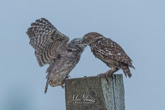 little owl feeds the youngster (fire111) Tags: little owl steenuil voedt feeding wild wildlife bird birding wings