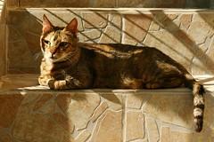 Gato chipriota (alfonsocarlospalencia) Tags: chipre omodos viaje amigos pensamiento verde mirada escaleras sombras luz bigotes café recuerdos elegancia paz cola cata vinos fabio ensimismado