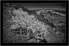 Roque de los Muchachos, Isla de La Palma, Canary Islands (Bartonio) Tags: 720nm bw blanconegro caldera canaryislands crater cráter flor flower garafía infrared ir islascanarias lapalma modified monochrome mountain nationalpark nikkor18mm35 park parque parquenacional roquedelosmuchachos sonya7ir