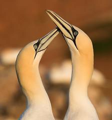Northern gannet - Basstölpel (rengawfalo) Tags: morusbassanus northerngannet basstölpel bird tölpel vogel birder birding natur nature wildlife animal portrait outdoor ocean sea