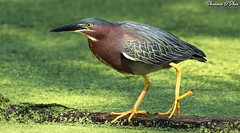 May your feet take you where your heart wants to go! (Shannon Rose O'Shea) Tags: shannonroseoshea shannonosheawildlifephotography shannonoshea shannon greenheron heron bird beak feathers wings skinnylegs birdyfeet yellowlegs yellowfeet yelloweye duckweed green nature wildlife waterfowl canal wildwoodlake harrisburg pennsylvania dauphincounty outdoors outdoor colorful wild wildlifephotography wildlifephotographer wildlifephotograph art photo photography photograph butoridesvirescens canon canoneos80d canon80d eos80d 80d canon100400mm14556lisiiusm claws closeup close branch shadows femalephotographer girlphotographer womanphotographer shootlikeagirl shootwithacamera throughherlens fauna water flickr wwwflickrcomphotosshannonroseoshea