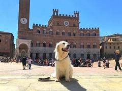 Dea in gita a Piazza del Campo  Siena. (oscar.martini_51) Tags: siena piazza del campo cane golden retriver dea