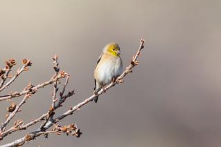 American Goldfinch (X81_4128-1)