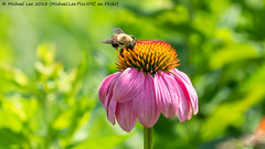 Coneflower and Bee (20180713-DSC00693) (Michael.Lee.Pics.NYC) Tags: newyork nybg botanicalgarden bronx coneflower flower bee insect bokeh sony a6500 fe70300mmg
