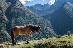 Horse and mountains in Laya - Gasa District - Snowman Trek - Bhutan (PascalBo) Tags: nikon d500 asie asia southasia asiedusud drukyul drukgyalkhap bhutan bhoutan འབྲུག་ཡུལ། འབྲུག་རྒྱལ་ཁབ་ snowman trek trekking hike hiking lunana gasa himalaya himalayas jigmedorjinationalpark laya mountain montagne horse cheval landscape paysage animal outdoor outdoors pascalboegli 123faves
