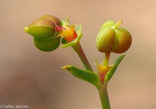 Petty Spurge (Euphorbia peplus)