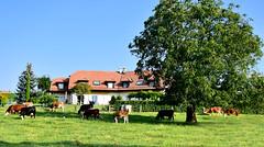 Paisible campagne (Diegojack) Tags: denens vaud suisse d7200 nikon nikonpassion campagne vaches village groupenuagesetciel