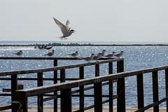 IMGP0079@L6 (Logan-26) Tags: latviarigadaugavariver birds summer july sun gulls fly gulf riga