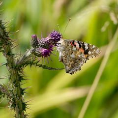 Painted Lady (Colin Und€rhill) Tags: paintedlady butterfly underwing haywood warwickshire butterflies britishisles 2018 summer july woodlands species underside