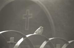 (Silvia Kuro) Tags: cemetery cimitero tomb cross holy italy italia bird nature uccello natura croce christian spiritual ritual credo analog burial birds