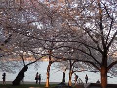 P3242895 (Dr. Fieldgood) Tags: washington dc national cherry blossom festival spring flowers mall