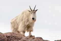Beautiful adult Mountain Goat