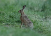 European Hare Lepus europaeus 001-1 (cwoodend..........Thanks) Tags: hare europeanhare lepus lepuseuropaeus leporid wildlife 2018 warwickshire
