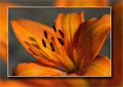 Lily.. (Petefromstaffs) Tags: lily florafauna flowers yellow macro midlands bokeh border unusual uk interesting inthegarden