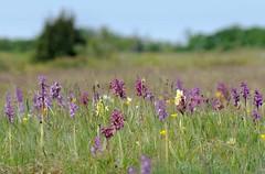 20180521-053F (m-klueber.de) Tags: 20180521053f 20180521 2018 mkbildkatalog nordeuropa skandinavien scandinavia schweden sweden sverige öland stora alvaret alvar unescowelterbe orchidee orchidaceae dacsamb dactylorhiza sambucina holunder fingerwurz knabenkraut holunderfingerwurz holunderknabenkraut holunderfingerknabenkraut anamori anacamptis morio sstr orchis salep kleines orcmasc mascula manns kuckucks mannsknabenkraut kuckucksknabenkraut flora nordisch pflanzenwelt pflanze europäische skandinavische skandinavischeflora