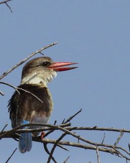 Brown-hooded Kingfisher / Bruinkopvisvanger
