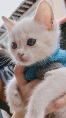 Babe. (qmdaniela) Tags: pet beautiful blueeyes babe kitty cat